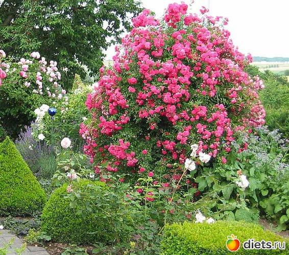 Выращивание розы на английском 18