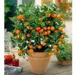 Как вырастить апельсиновое дерево из косточки.